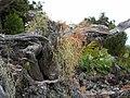 Starr-050423-6754-Bocconia frutescens-with lichens-Auwahi-Maui (24119670553).jpg