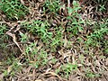 Starr-070908-9283-Eucalyptus globulus-seedlings germinating after fire-Polipoli-Maui (24775016462).jpg