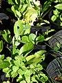 Starr-081031-0416-Brassica rapa var chinensis-flowering habit-Makawao-Maui (24808763062).jpg