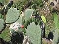 Starr-100331-4034-Opuntia ficus indica-flowers-Kula-Maui (24717958140).jpg