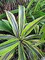 Starr-110215-1155-Dracaena fragrans-leaves-KiHana Nursery Kihei-Maui (24780123210).jpg
