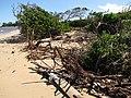 Starr-110312-3176-Thespesia populnea-after tsunami scoured dune-Kanaha Beach-Maui (25079424255).jpg