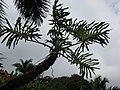 Starr-110330-3761-Philodendron bipinnatifidum-habit-Garden of Eden Keanae-Maui (24962270602).jpg