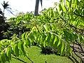 Starr-110330-3843-Murraya koenigii-leaves-Garden of Eden Keanae-Maui (25080820325).jpg