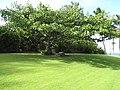 Starr-121108-0771-Clusia rosea-habit with bench shade tree-Pali o Waipio-Maui (24900564880).jpg