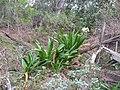 Starr-130319-1833-Crinum asiaticum-flowering habit-Kilauea Pt NWR-Kauai (24840490359).jpg