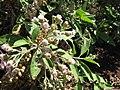 Starr-130320-3377-Pluchea carolinensis-flowers with Strymon bazochii smaller Lantana butterfly biocontrol-Nihoku Mokolea Pt Kilauea Pt NWR-Kauai (25115885451).jpg