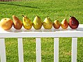 Starr-140114-3128-Pyrus communis-many varieties of fruit from Foodland-Hawea Pl Olinda-Maui (24608050794).jpg