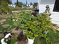 Starr-150325-0549-Solanum melongena-in pots with Kim surveying and Laysan Albatrosses-Residences Sand Island-Midway Atoll (25147722352).jpg