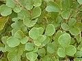 Starr 011205-0072 Rubus ellipticus.jpg