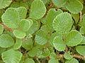 Starr 011205-0073 Rubus ellipticus.jpg