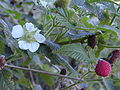 hoa và trái Đồ Mi