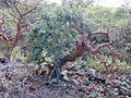 Starr 030202-0126 Ficus microcarpa.jpg