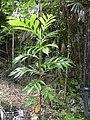 Starr 030807-0077 Artocarpus altilis.jpg