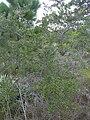 Starr 031108-2119 Pinus elliottii.jpg
