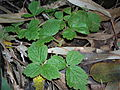 Starr 041211-1309 Rubus macraei.jpg