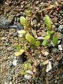 Starr 050223-4346 Trianthema portulacastrum.jpg