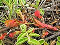 Starr 050519-1783 Jacquemontia ovalifolia subsp. sandwicensis.jpg