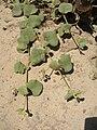 Starr 060305-6530 Solanum nelsonii.jpg