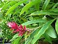 Starr 060922-9058 Alpinia purpurata.jpg