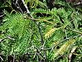 Starr 070404-6609 Prosopis juliflora.jpg