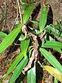 Starr 070604-7250 Syzygium jambos.jpg