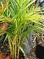 Starr 070906-8616 Chrysalidocarpus lutescens.jpg