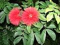 Starr 071024-9938 Calliandra haematocephala.jpg