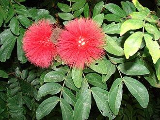 Calliandra - Calliandra haematocephala