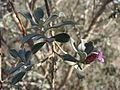 Starr 071224-0460 Leucophyllum frutescens.jpg