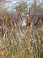 Starr 071225-0698 Typha sp..jpg