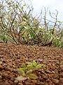 Starr 080209-2665 Achyranthes splendens var. splendens.jpg