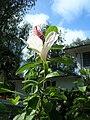 Starr 080601-8991 Hibiscus waimeae.jpg