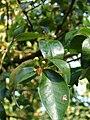 Starr 090213-2428 Eugenia uniflora.jpg