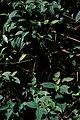 Starr 980507-4040 Clidemia hirta.jpg