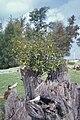 Starr 990429-0642 Ficus microcarpa.jpg