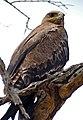 Steppe Eagle (Aquila nipalensis orientalis) (32506197303).jpg