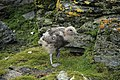 Stercorarius antarcticus -Shingle Cove, Coronation Island, South Orkney Islands, British Antarctic Territory -chick-8 (1).jpg