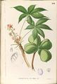 Sterculia foetida Blanco1.134-original.png