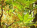 Sterculia murex, blomme, Manie van der Schijff BT, b.jpg