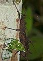 Stick Insects (Haaniella echinata) mating (23414046051).jpg