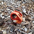 Stink horn fungus in Spanish Fort, AL 2.jpeg