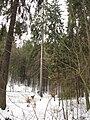 Stoleté smrky hornopožárského lesa (006).JPG