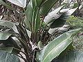 Strelitzia alba-tree-yercaud-salem-India.JPG