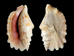 Laciniate conch shell