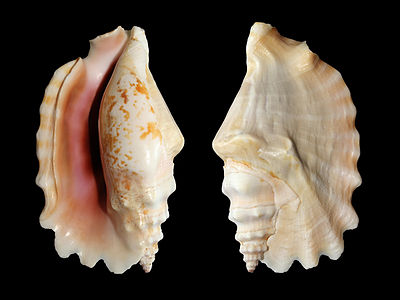 Laciniate conch shell