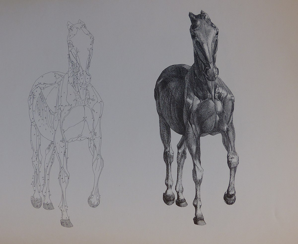 The Anatomy of the Horse – Wikipedia