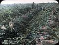 Sugar beet field (3708642930).jpg