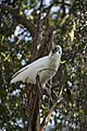 Sulphur-crested Cockatoo drinking from a water fountain in the Victory Memorial Gardens.jpg