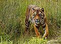 Sumatran Tiger (9122811106).jpg